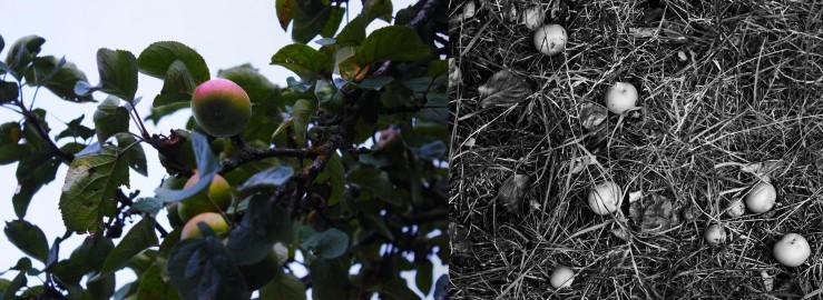 Apple tree in our garden | Infinite belly