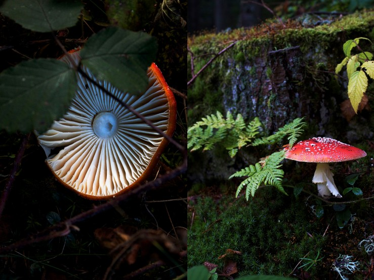 Poisonous fly agaric mushroom | Infinite belly